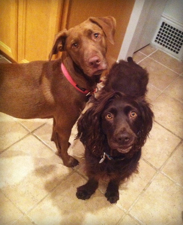 the dogs want chocolate