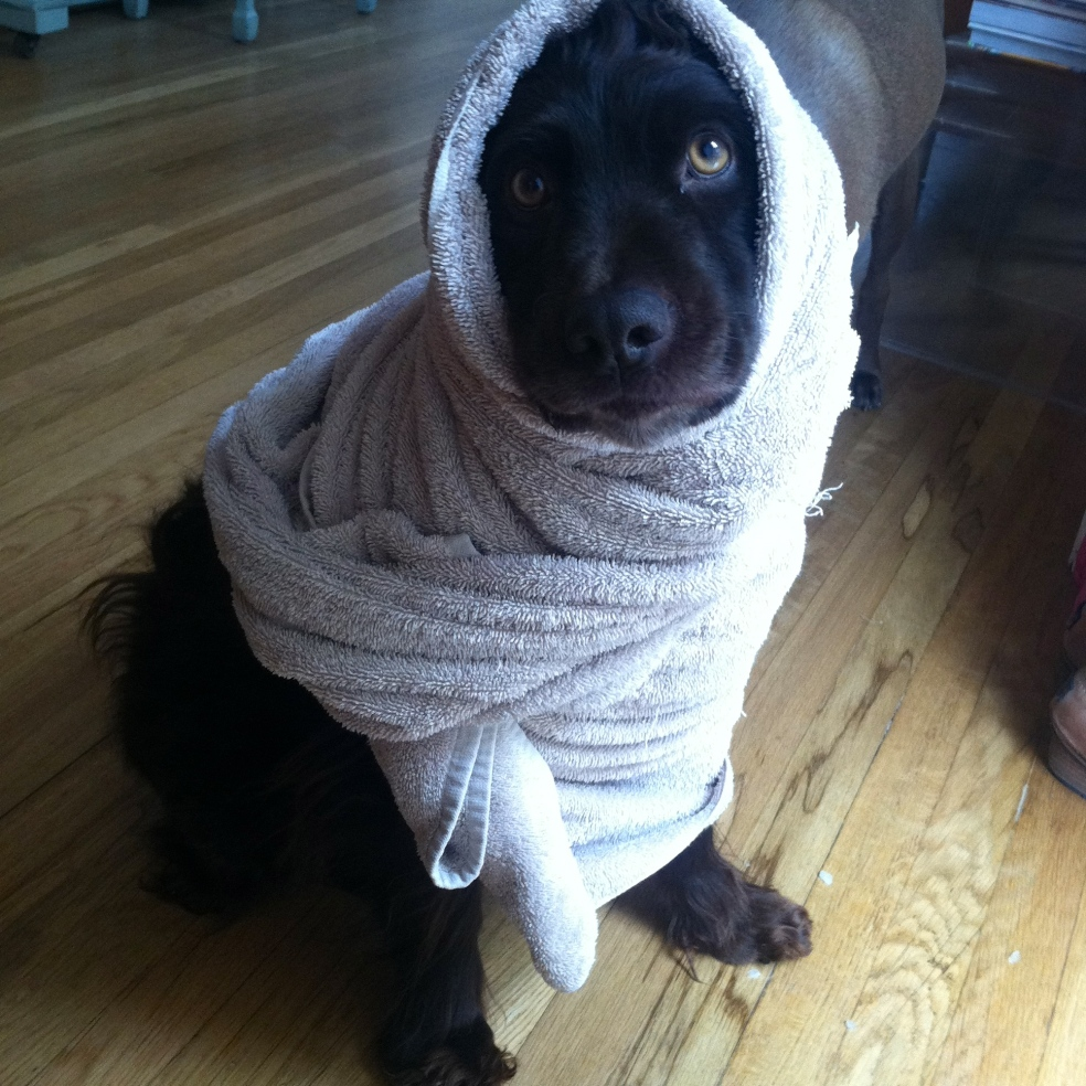 boyd dog in a towel