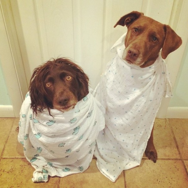 swaddled puppies